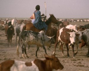 Troupeau peul dans le Delta Intérieur du Niger. Photo E. Huysecom.