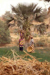 Champs d'oignons dans la vallée du Yamé.