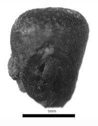 Caryopse de petit mil (Pennisetum glaucum ssp. glaucum). Photo B. Eichhorn